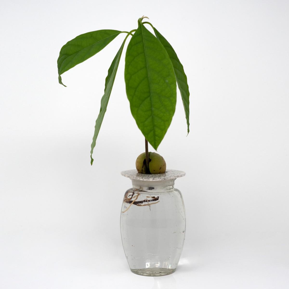 Photo of Avocado Plant Starter Kit: Crackle