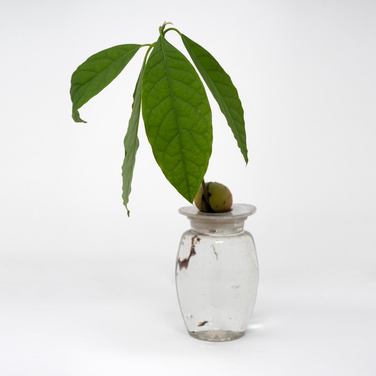 Photo of Avocado Plant Starter Kit: Speckle