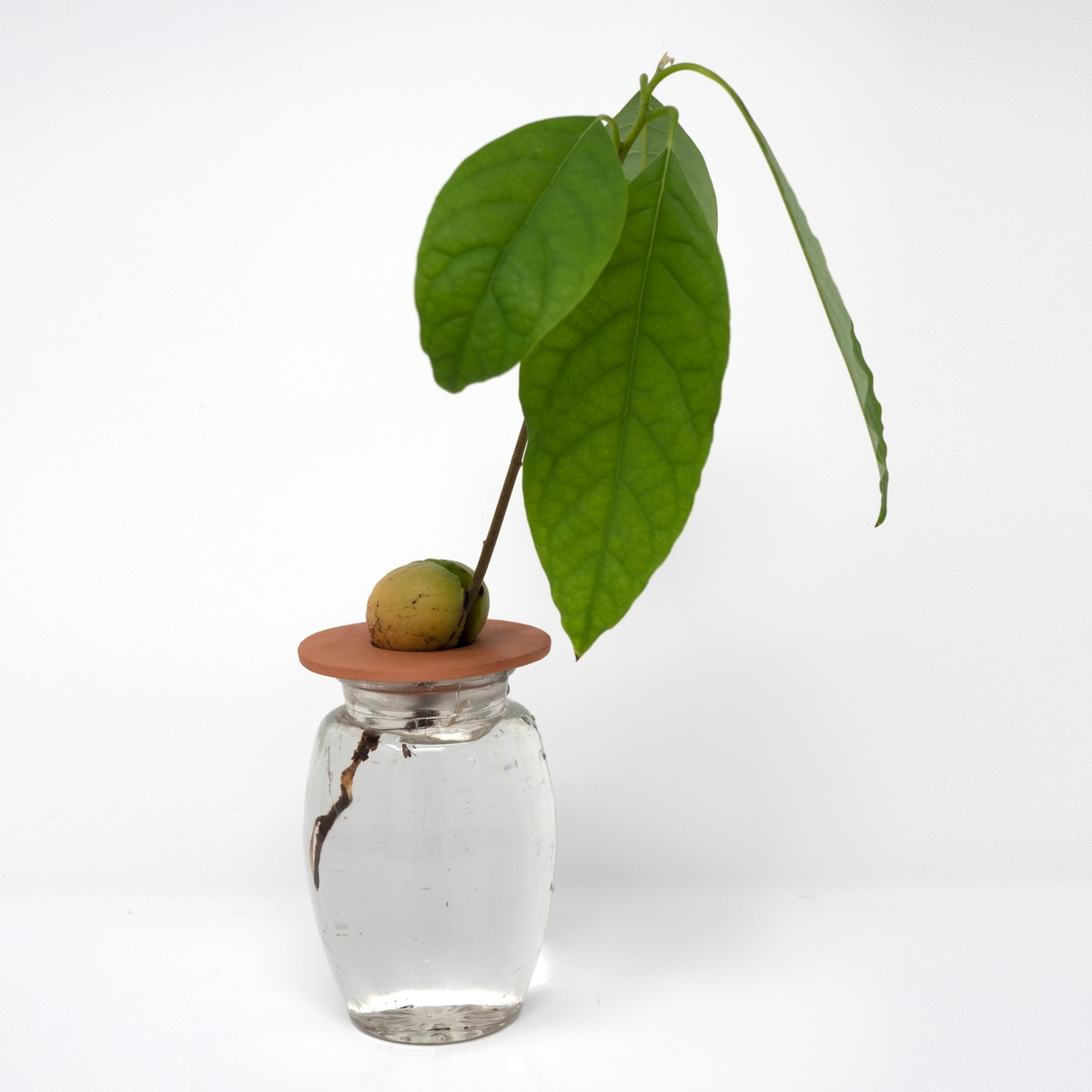 Photo of Avocado Plant Starter Kit: Terracotta